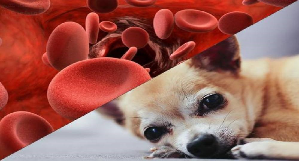 کم خونی سگ ها چیست