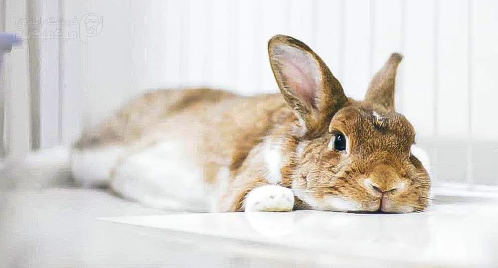 عواقب عقیم سازی خرگوش ماده