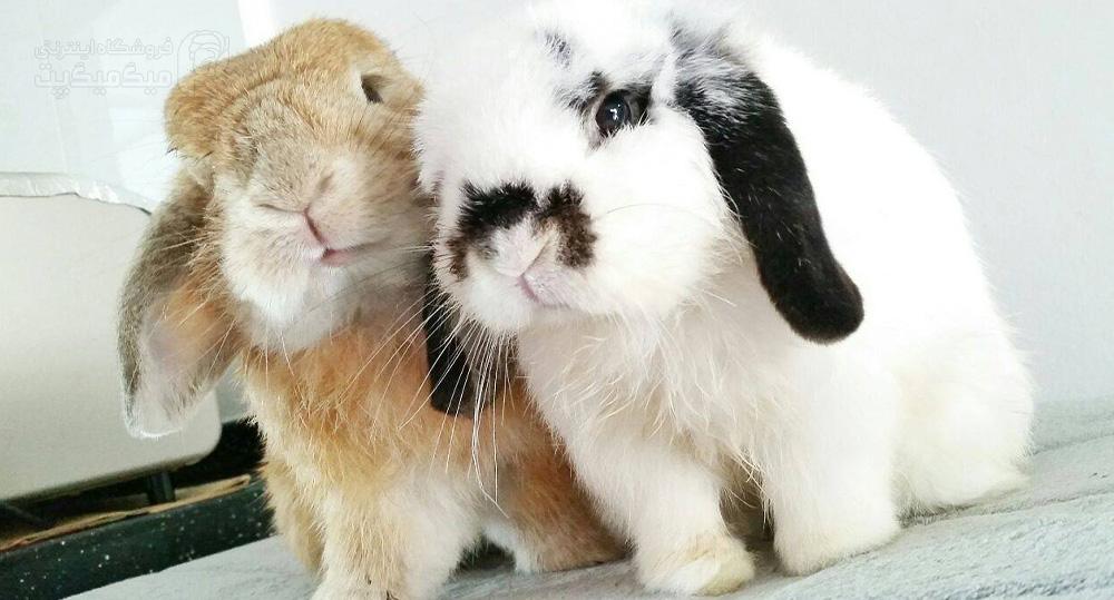 انسداد روده خرگوش توسط مو های بلعیده شده