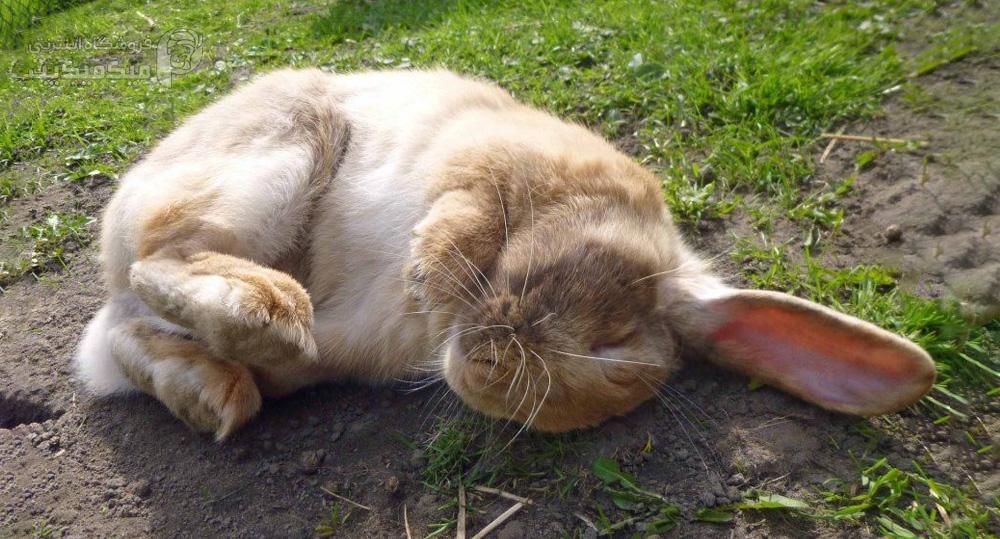 تشنج خرگوش چیست