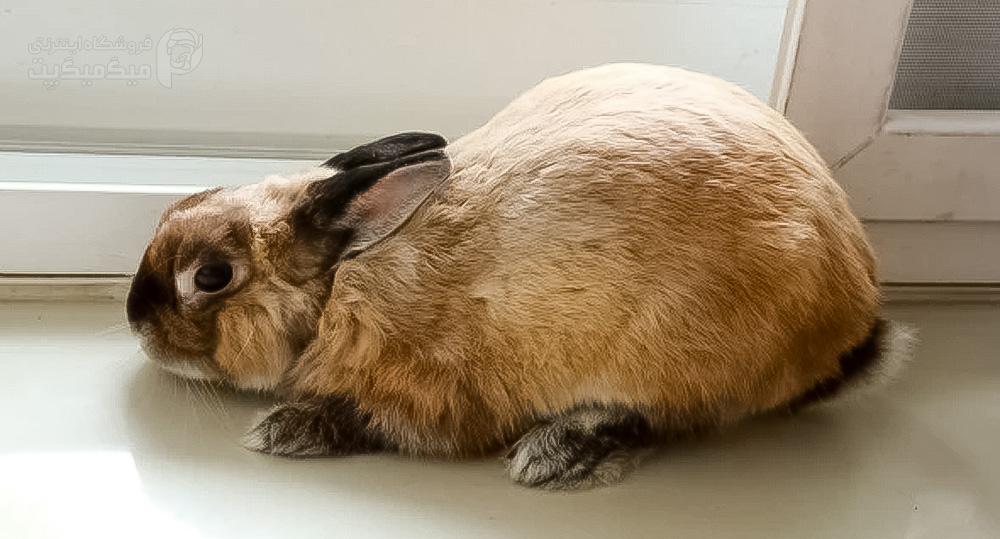 تشنج خرگوش
