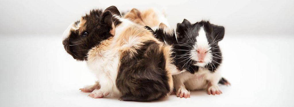 انواع نژاد خوکچه هندی