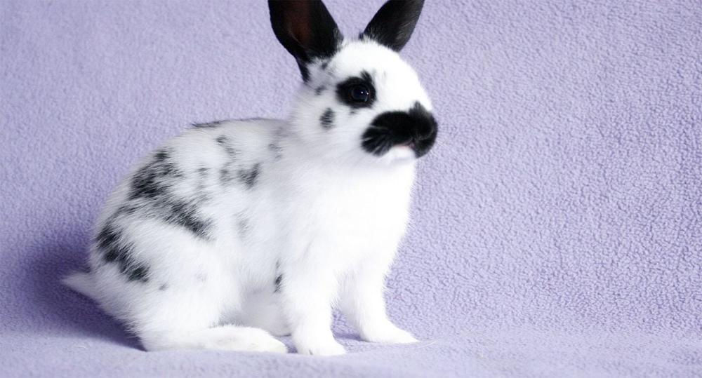 خرگوش نقطه انگلیسی