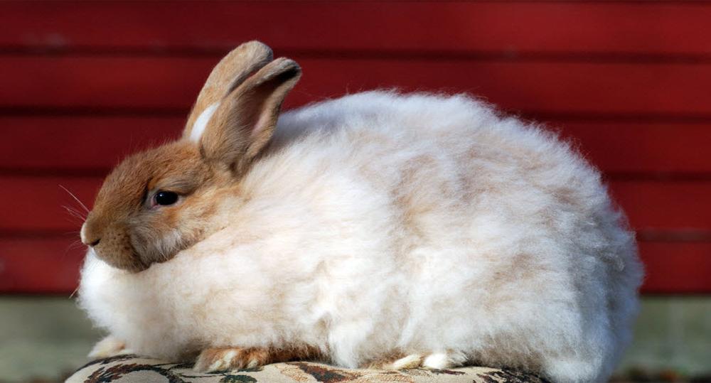 خرگوش آنگورای فرانسوی