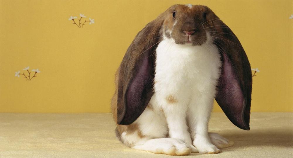 خرگوش لوپ انگلیسی