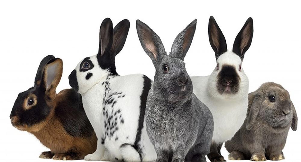 معرفی 15 نژاد خرگوش خانگی محبوب و تفاوت آن ها