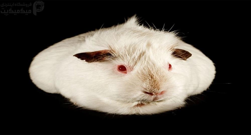 نژاد خوکچه هندی هیمالیایی