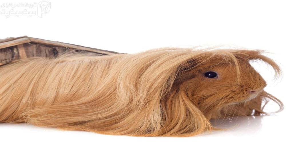 نژاد خوکچه هندی پرویی