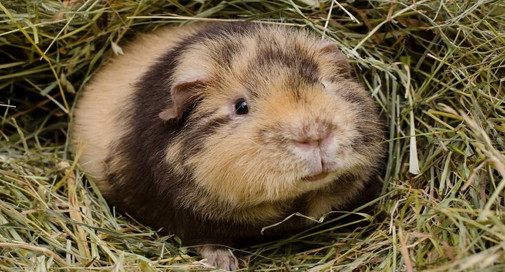 خوکچه هندی عروسکی - تدی