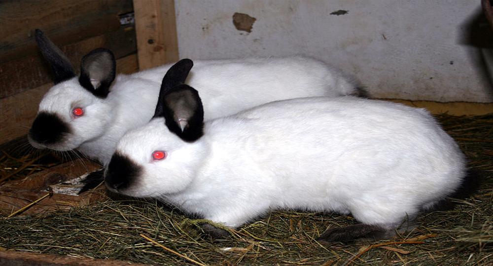 خرگوش کالیفرنیایی