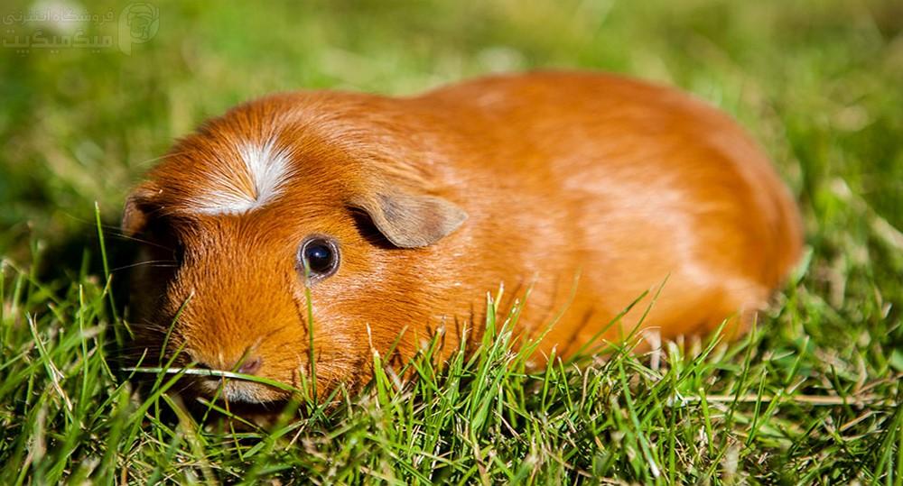 نژاد خوکچه هندی تاجدار