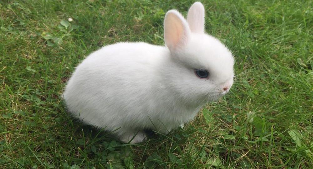 خرگوش کوتوله هلند