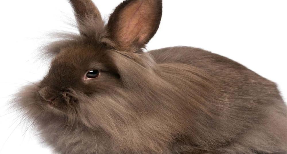 خرگوش لیون هد
