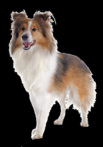 shetland-dog-P3DC5W5